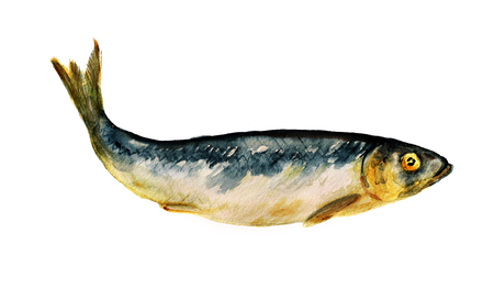 Watercolor image of salted herring on white background
