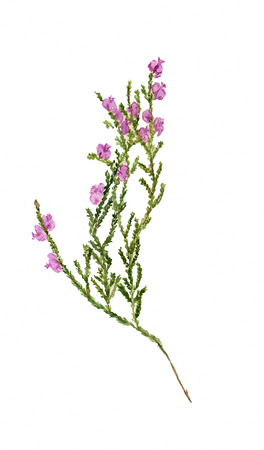 Watercolor image of branch of heather with flowers on white background Фото со стока