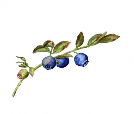 uncultivated: Watercolor image of branch of blueberry on white background Stock Photo