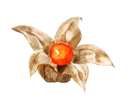 Watercolor image of berry of physalis on white background Stock Photo