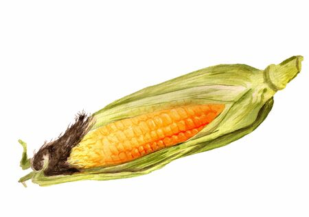 Watercolor image of ear of indian corn on white background Stock Photo