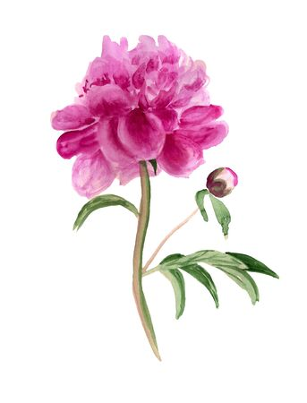 Watercolor image of pink peony with burgeon Stock Photo
