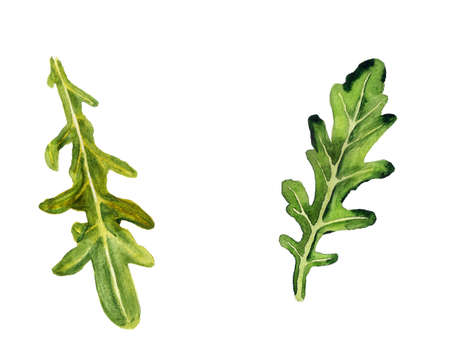 Watercolor image of arugula leaves on white background