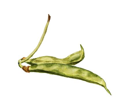 Watercolor image of two pods of green haricot on white background
