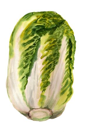 Watercolor image of chinese cabbage on white background