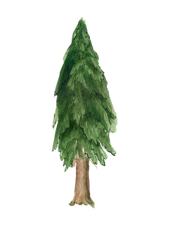 Watercolor image of spruce tree on white background