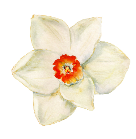 Watercolor image of flower of narcissus on white background