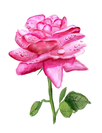 Watercolor image of pink rose with drops of dew isolated on white background Stock Photo