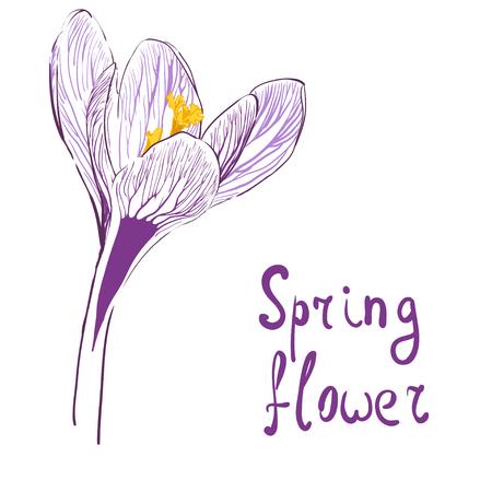 Flor de azafrán en blanco Foto de archivo - 84508151