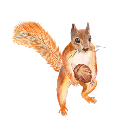 Watercolor image of red squirrel  with nut on white background