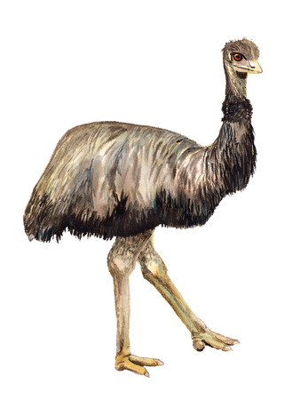 Watercolor image of ostrich Emu on white background
