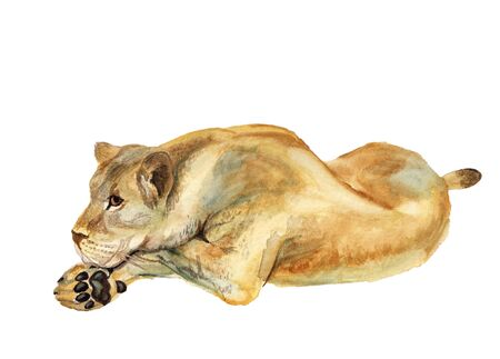 Watercolor image of lioness on white background