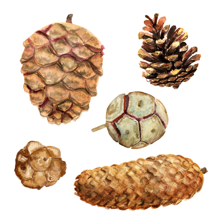 Set of watercolor images of different cones: fir-tree, pine, cedar and cypress