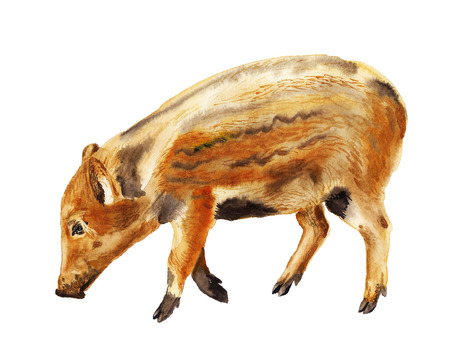 Watercolor image of baby of wild boar pig on white background Stock Photo