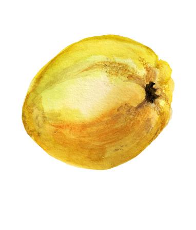 白い背景に熟したリンゴのクインスの水彩画画像 写真素材 - 93213116