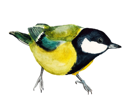 Watercolor image of tomtit on white background