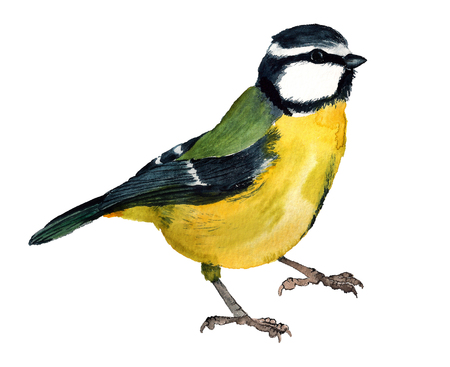 Watercolor image of Eurasian blue tit on white background