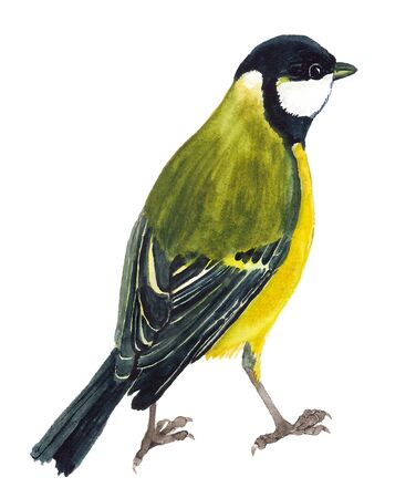 Watercolor image of great tit on white background Stock Photo