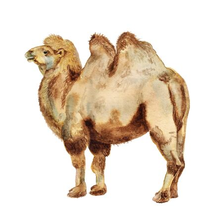 Watercolor image of realistic bactrian camel  on white background