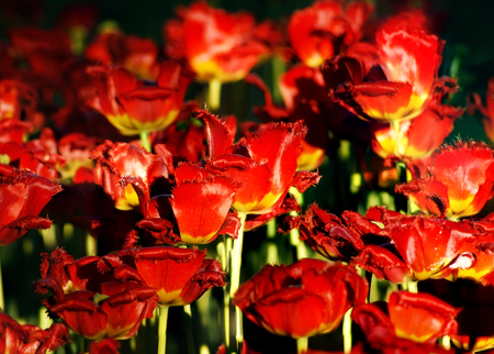 Summer background with field of blooming red tulips