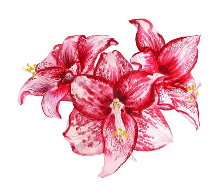 Watercolor image of three flowers of amaryllis on white background