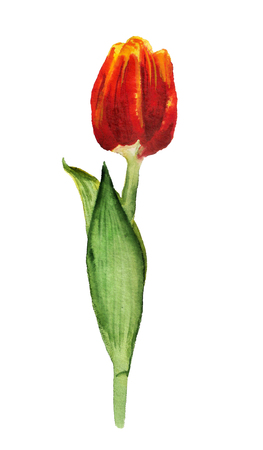 Watercolor image of red tulip on white background