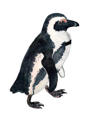 Watercolor image of african penguin on white background