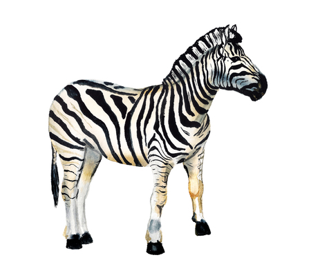 Watercolor image of zebra on white background