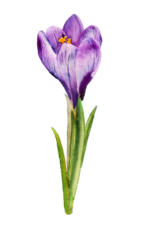Watercolor image of purple crocus on white background Stock Photo