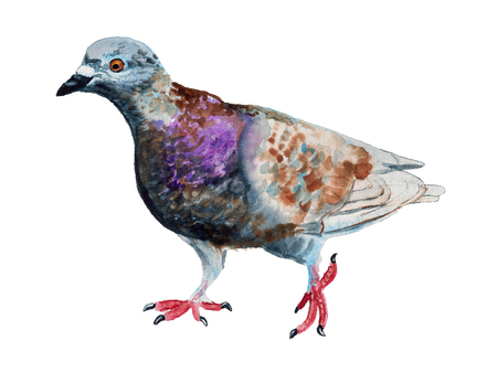 Watercolor image of walking gray dove on white background