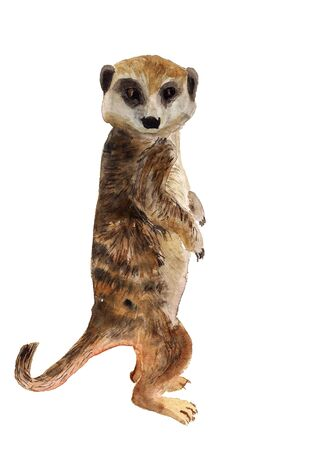 Watercolor image of smart meerkat with big head on white background Stock Photo