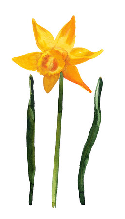 Watercolor image of flower of yellow narcissus and leaves on white background