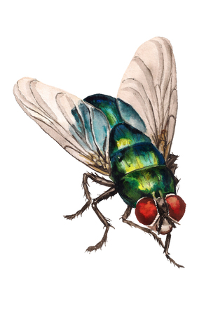 Watercolor image of realistic blow fly on white background Stock Photo