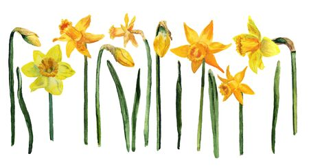 Set of watercolor images of flowers, leaves and buds of yellow narcissus on white background