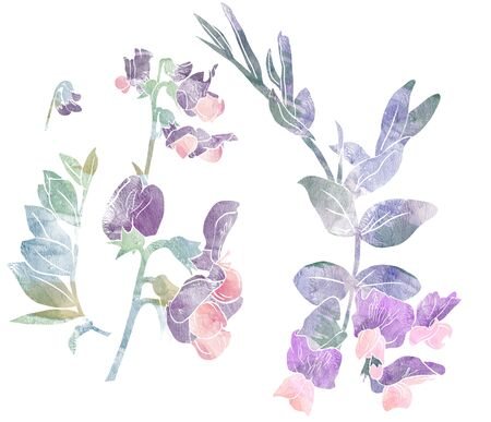 Flowers of garden vetch on white background. Mix-media design. Digital painting and watercolor textures.