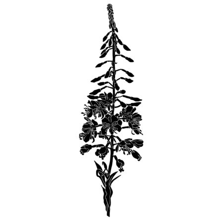 Black silhouette of realistic willowherb on white background.