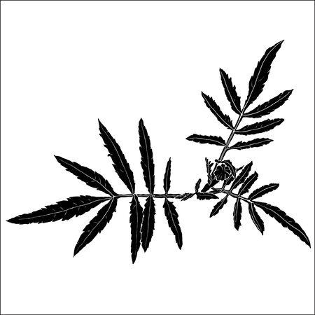 Black tagetes leaves silhouette on white background. Floral botany art. Vector autumn illustration.