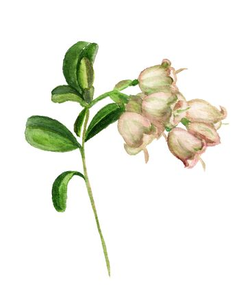 Cowberry flower watercolour isolated on white background. Botanical illustration. Spring concept. Imagens