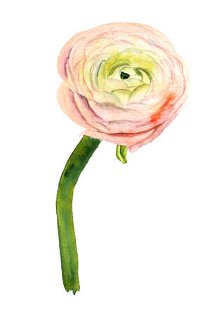 Decorative cultivated form of Ranunculus asiaticus. Beautiful pink flower. Hand drawn watercolor image.