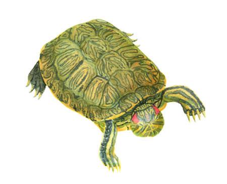 Red-eared pond slider turtle