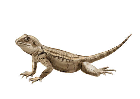 Realistic illustration with roughtail rock agama