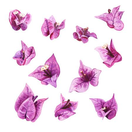 Watercolor flowers of bougainvillea Imagens