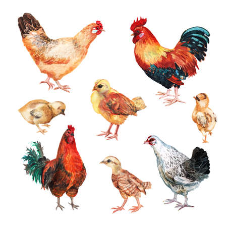 Set of watercolor images of hens, cocks and chicken. Imagens
