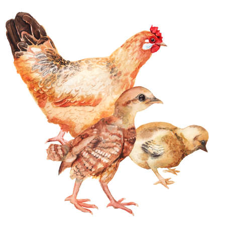 Watercolor image of hen and two chickens. Imagens