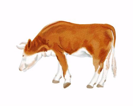 Reddish simmental cow.