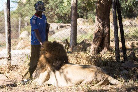 hienas: Harare, Zimbabwe - 28 de abril 2013: León en León y Chitaah Park en Harare, en Zimbabwe, África, donde los animales como leones, cebras, jirafas, antílopes y hienas están viviendo. Editorial
