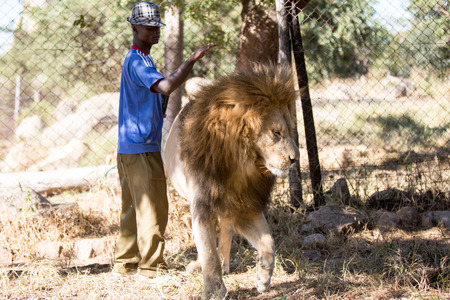 hienas: Harare, Zimbabwe - April 28, 2013: Lion in the Lion and Chitaah Park in Harare in Zimbabwe, Africa, where animals such as lions, zebras, giraffes, antelopes and hyenas are living. Editorial