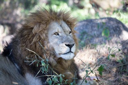 iene: Harare, Zimbabwe - 28 aprile 2013: Leone del Leone e Chitaah Park a Harare in Zimbabwe, in Africa, dove gli animali come leoni, zebre, giraffe, antilopi e iene vivono. Archivio Fotografico
