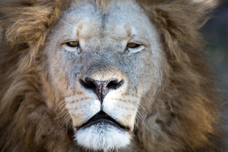 hienas: Harare, Zimbabwe - 28 de abril de 2013: León en León y Chitaah Park en Harare, en Zimbabwe, África, donde los animales como leones, cebras, jirafas, antílopes y hienas están viviendo.