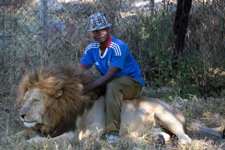 hienas: Harare, Zimbabwe - 28 de abril 2013: Le�n en Le�n y Chitaah Park en Harare, en Zimbabwe, �frica, donde los animales como leones, cebras, jirafas, ant�lopes y hienas est�n viviendo. Editorial